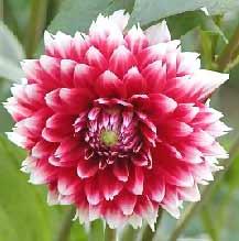 Dahlia-pinnata-red